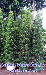 Jual Pohon Lohansung | Pohon Louhansung marcophyllum | Tanaman Lohansung