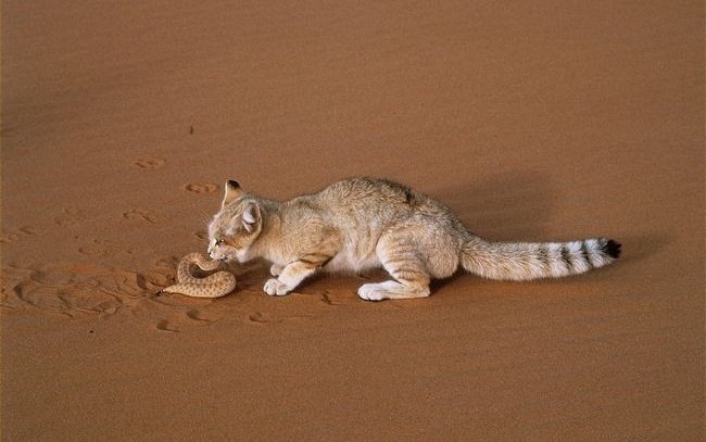 تعرف على القط العربي النادر سين المعرفة