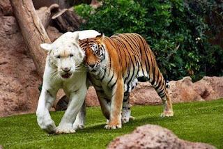 Tigre Blanco y de Bengala