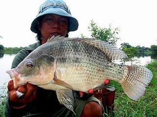 Umpan-Ikan-Nila