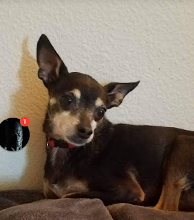 Lost small dog, a black miniature pinscher, in Central California
