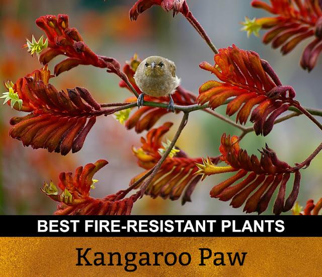 Best Fire Resistant Plants Kangaroo Paw