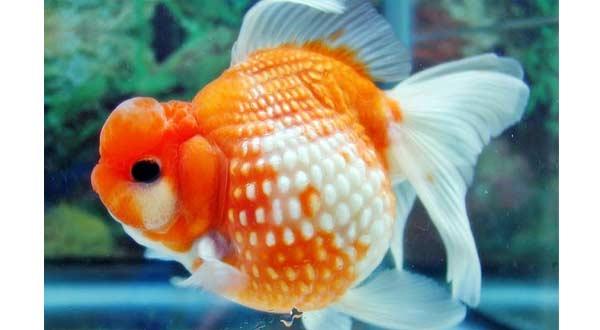 Jenis Ikan Mas Koki Mutiara