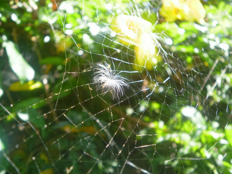 Dandelion seed fairy in spider web