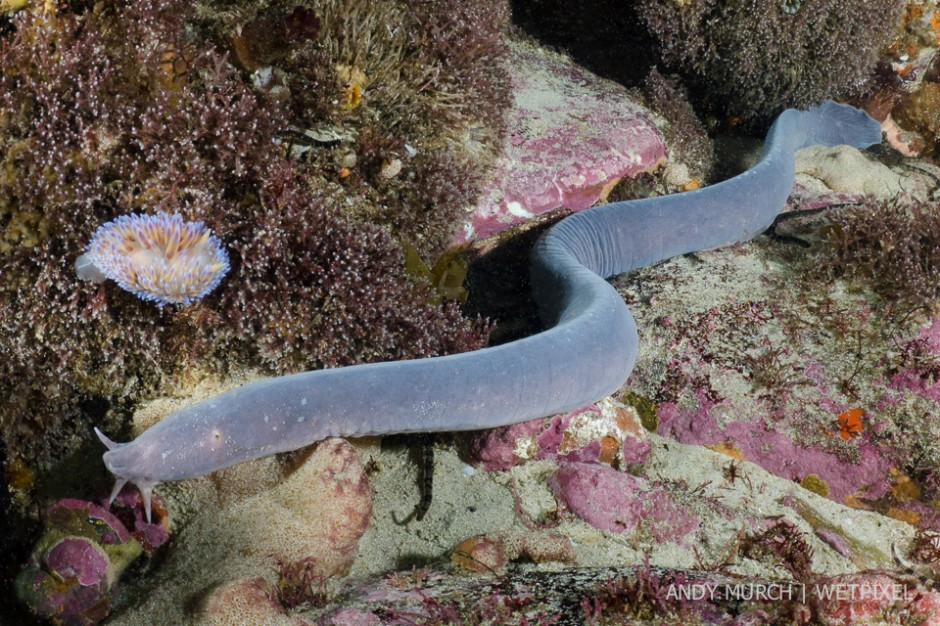Catalogue Of Organisms Hagfish Probably The World S Most