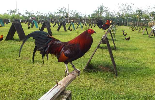 Fighting cock training methods pity, that