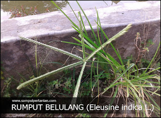 Mengenal gulma rumput Belulang (Eleusine indica L.)