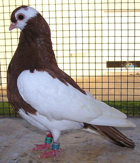 Roller pigeons - photo#43