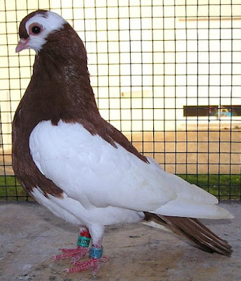 Rakonitzer Roller - rouleur pigeons - tumbler pigeons -   Rakovnicky Kotrlák