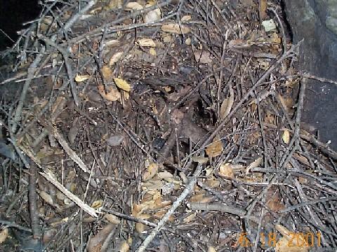Deadbydawn Rats Nest