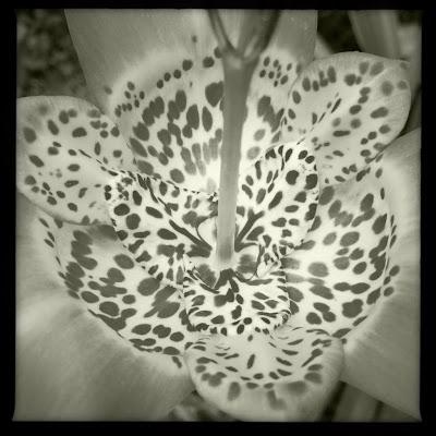 flor pinta