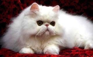 Gambar Kucing Persia Lucu 100018