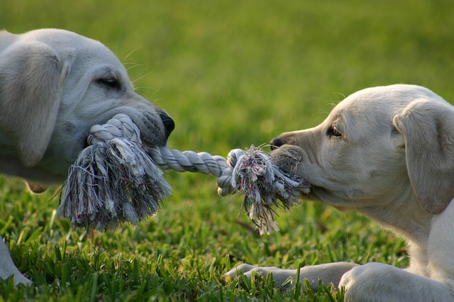 two labrador puppies tugging on either end of a small piece of rope