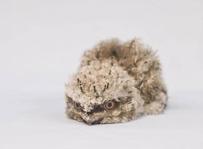 frogmouth chicks