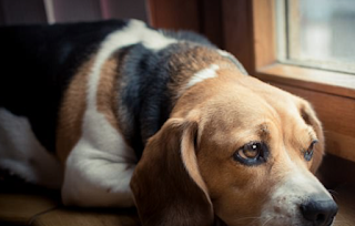 What Happens When You Leave Your Dog At Home Alone: Scientists Reveal The Stress Pets Go Through When Isolated