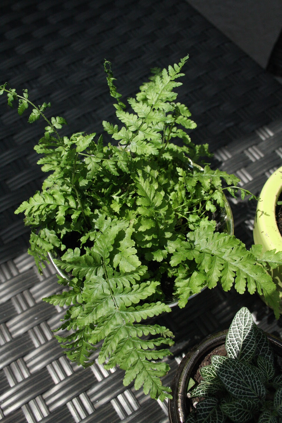 green girly indoor fern care. Black Bedroom Furniture Sets. Home Design Ideas