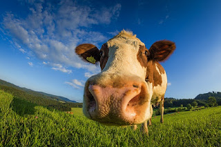 kondisi hidung hewan qurban