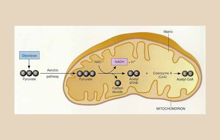 Metabolisme pengertian fungsi jenis proses ilmu dasar katabolisme ccuart Choice Image
