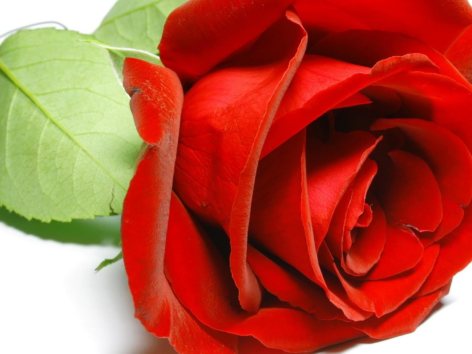 Wallpapers Rosas Rojas: Flores Rosas Rojas Wallpapers Flores Rosa Roja Rojas