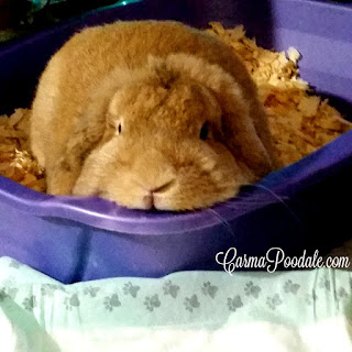 lop eared rabbit in box staring at camera #CarmaPoodale