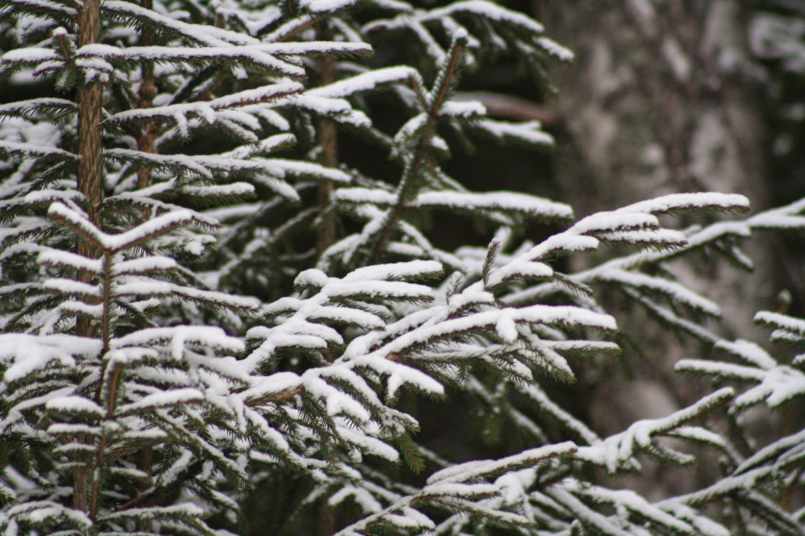 snow,spruce, lumi, kuusi, abeto, nieve