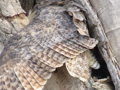 owls in a northern california tree hollow