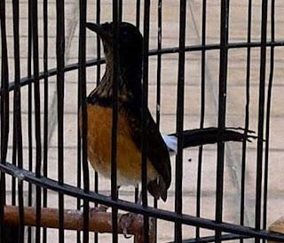Burung Murai Batu - Indukan Betina yang Berkarakter Suka Membuang Anakannya - Solusinya Menanganinya - Penangkaran Burung Murai Batu