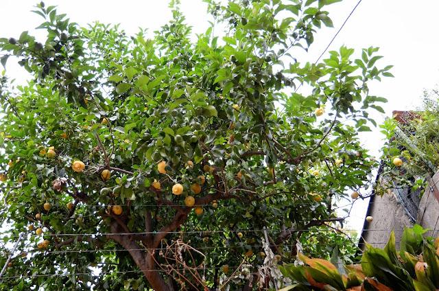 주택가 레몬나무