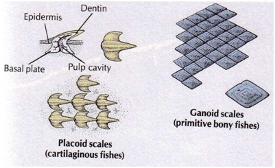 sisik ganoid dan plakoid