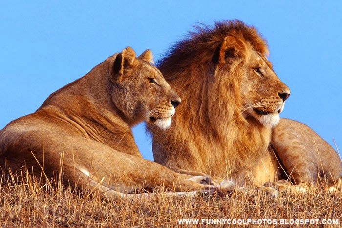 Most Beautiful Lion Pictures