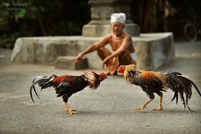 Sejarah Sabung Ayam Amerika, Bali dan Filipina