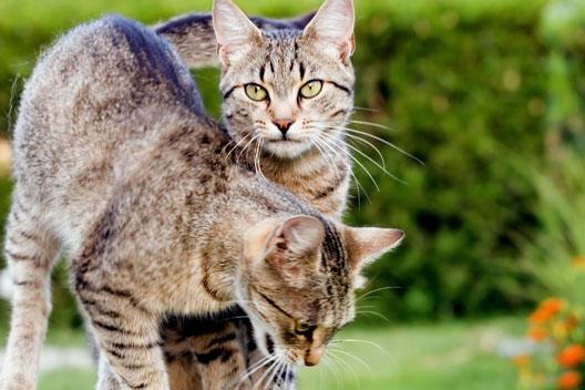 Kot domowy - gatunek czy podgatunek?