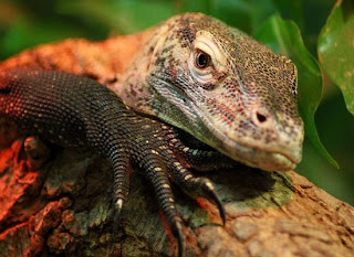 В период глубокого сна температура тела рептилии снижается до 20 градусов