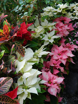 Allan Gardens Conservatory Christmas Flower Show 2015 poinsettias by garden muses-not another Toronto gardening blog
