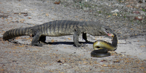 Heath Monitor eating a tiger snake