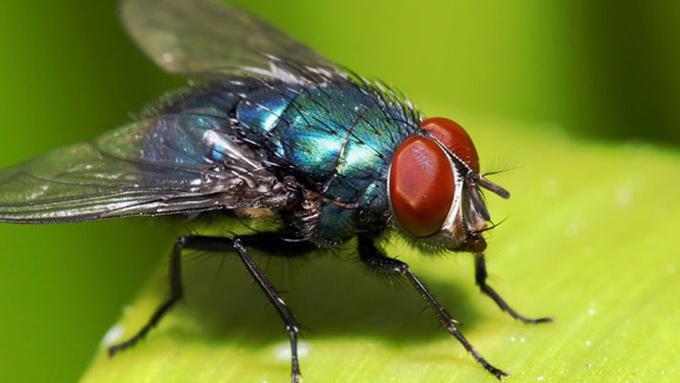 Tahukah Anda Kenapa Lalat Selalu Gosok Kaki