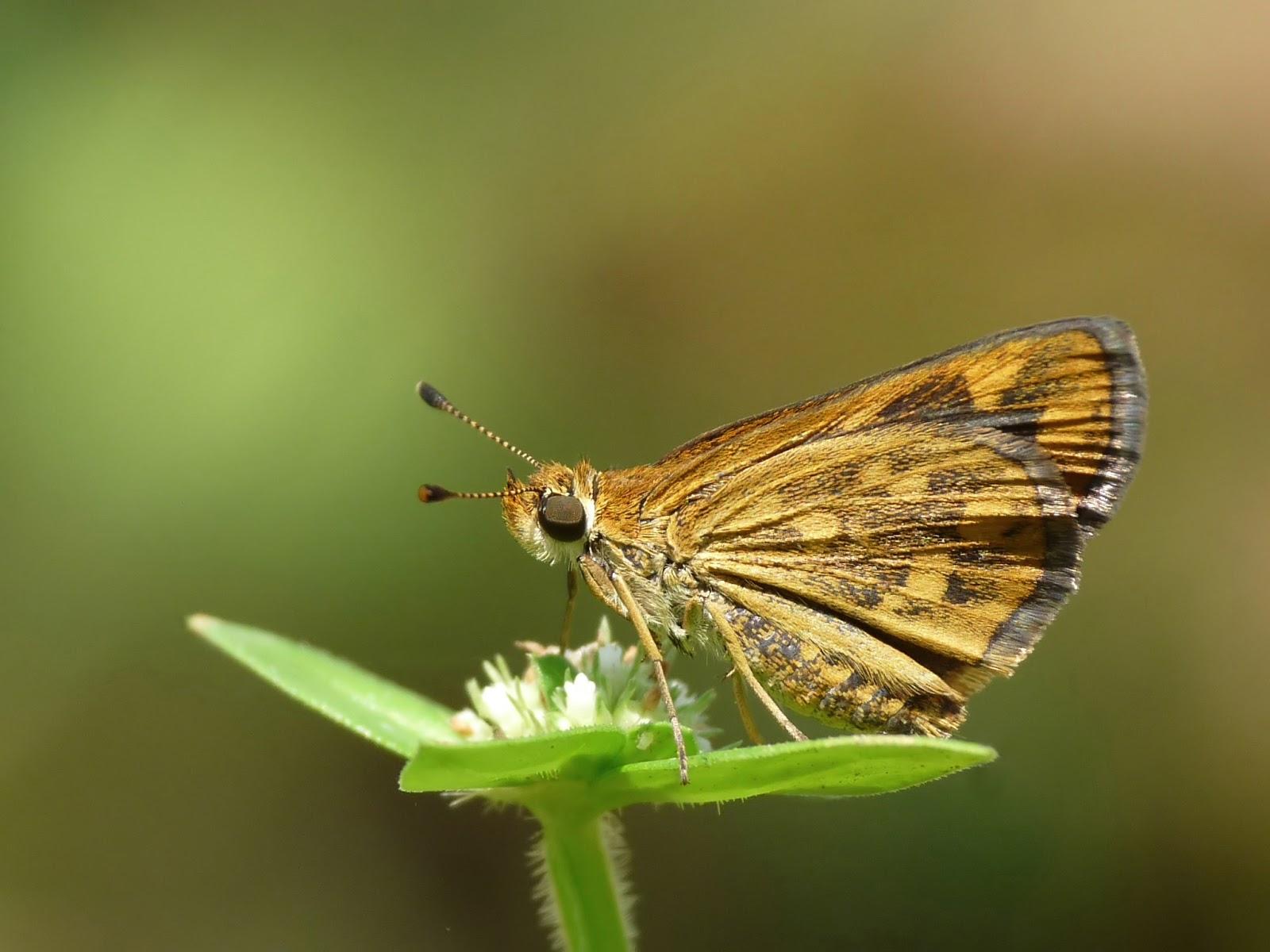 Insects: Taractrocera ceramas Tamil Grass Dart