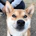 Meet Beni the Shiaba Inu dog that could speak Japanese words