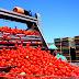 Tomato Sorter