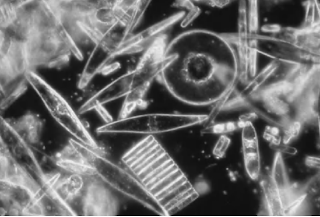 Marine diatoms may be round or elongated in shape. (Courtesy of NOAA, Coral Kingdom Collection)