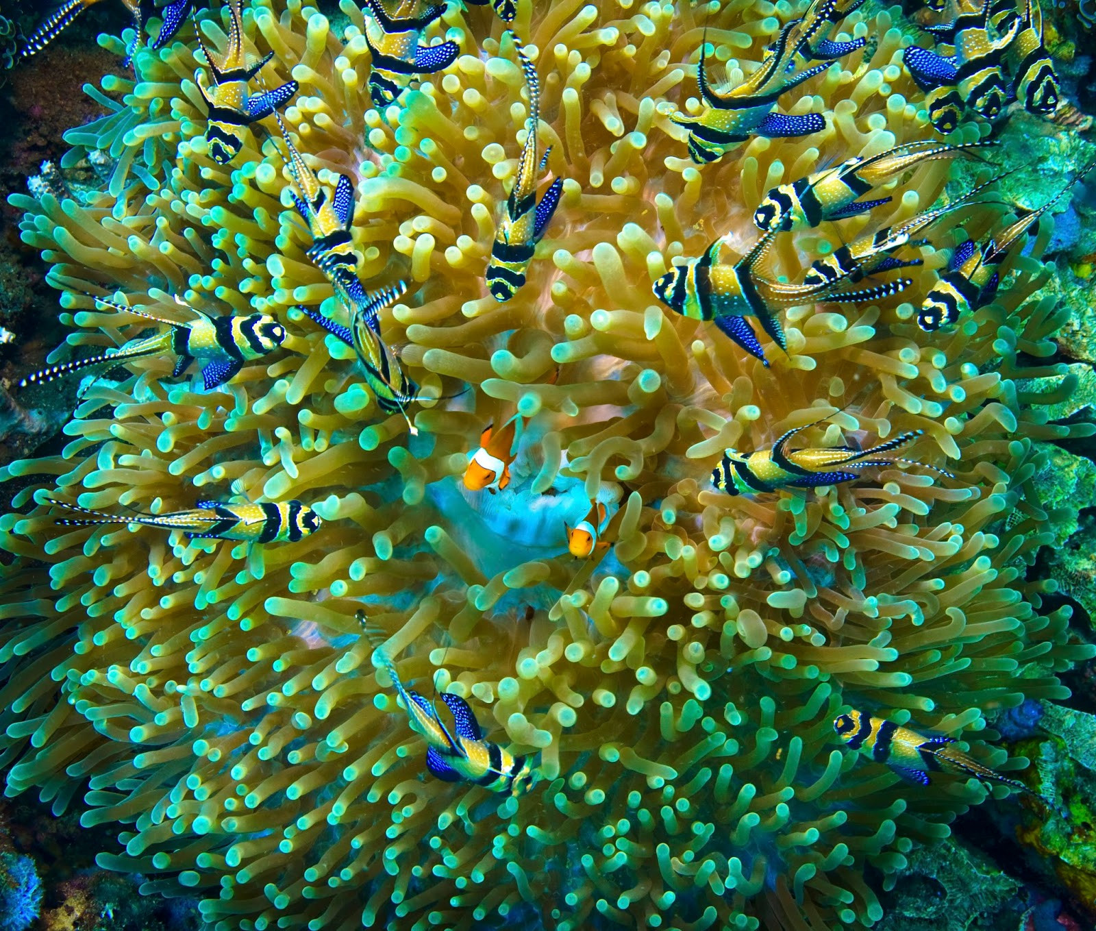 Ananomie Videos tips to get clownfish to use a host anemone - marine depot blog