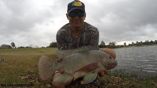 Umpan Serbuk Ikan Nila Rekomendasi Para Master
