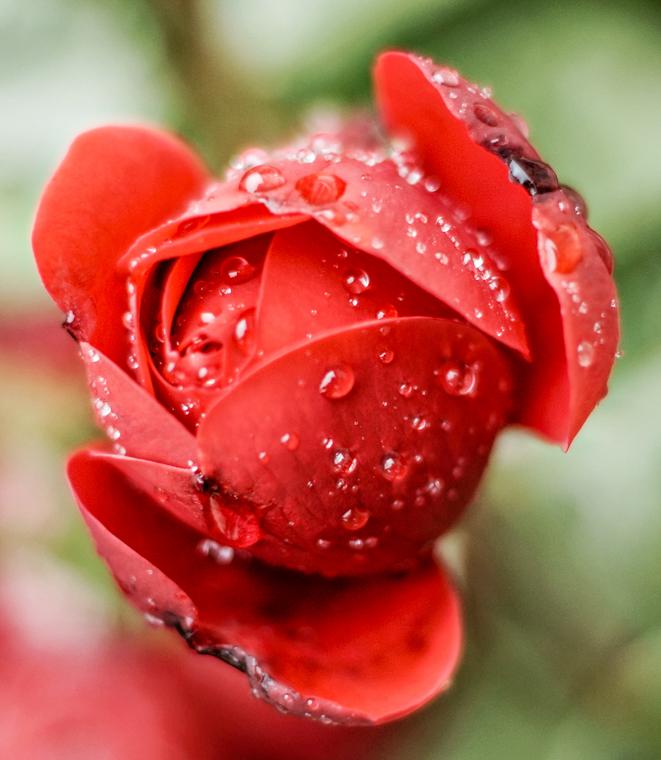Dunkelrote Duftrosen im Regen by fim.works Lifestyle Blog