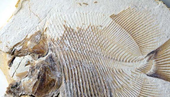 Παλαιοντολόγοι ανακάλυψαν τον αρχαιότερο πιράνχα