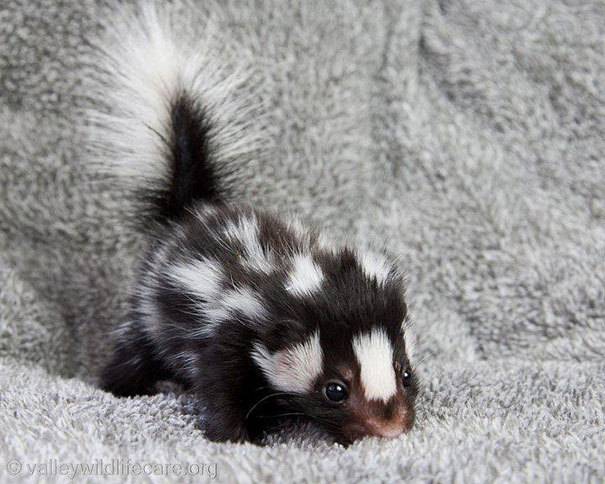 Baby Animals: Baby Skunk 2
