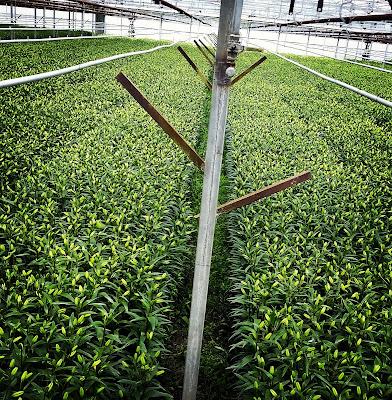Longiflorum Asiatic Lilies