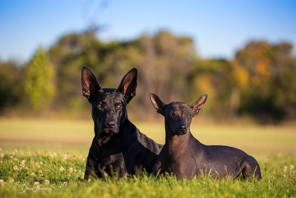 Xoloitzcuintle Or Mexican Hairless Dog Australian Dog Lover