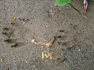 Front and back raccoon paw prints in sand