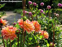 Dahlienfeuer Britzer Garten
