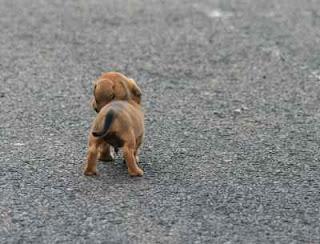 jual puppy Murah Di Pematangsiantar